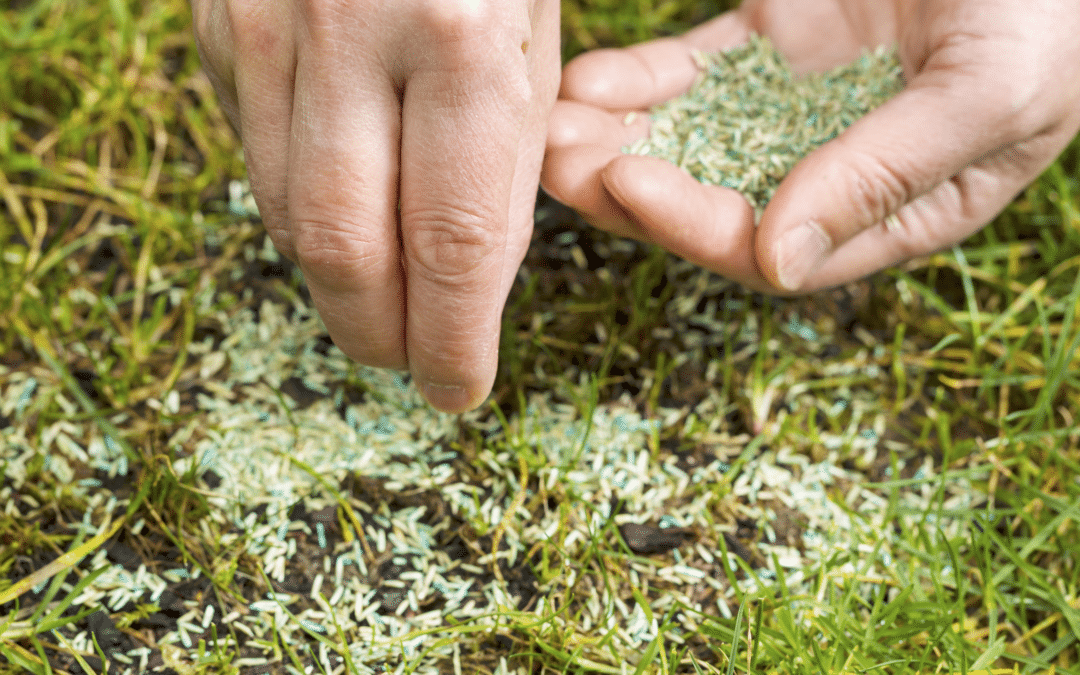 a person places grass seed in their lawn