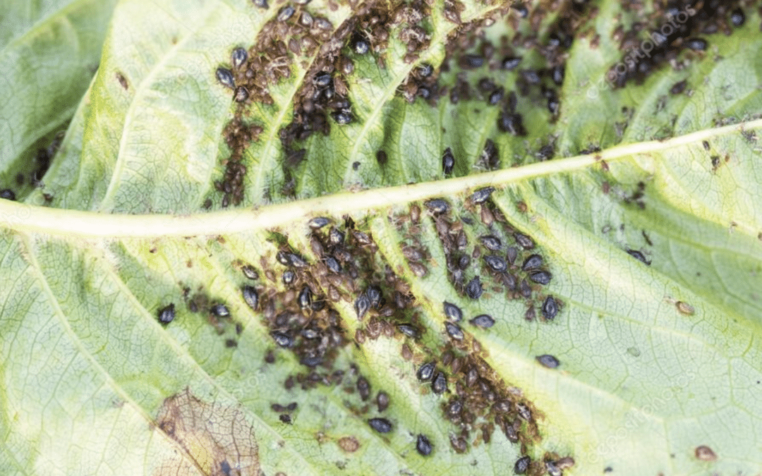 What To Do With Aphids and Your Plants